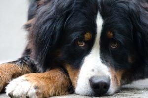 Liegender Berner Sennenhund